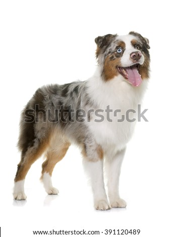 brown australian shepherd in front of white background #391120489
