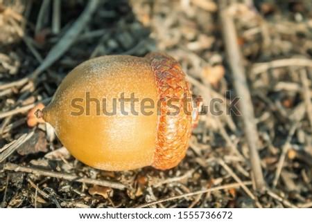 Brown autumn acorn. Round acorn with hat. The acorn lies #1555736672
