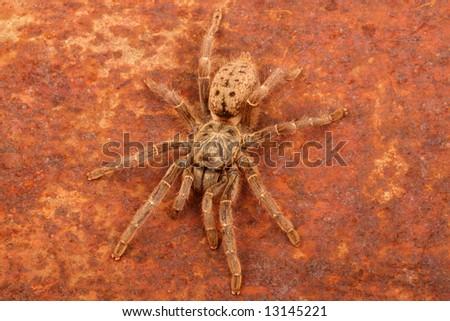 Brown Baboon Tarantula (Pterinochilus meriodnales). Rusty metal background.