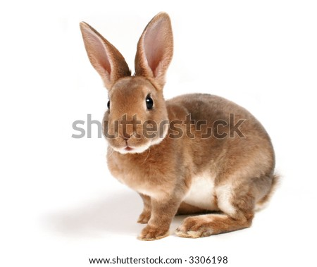 Brown baby bunny isolated on white