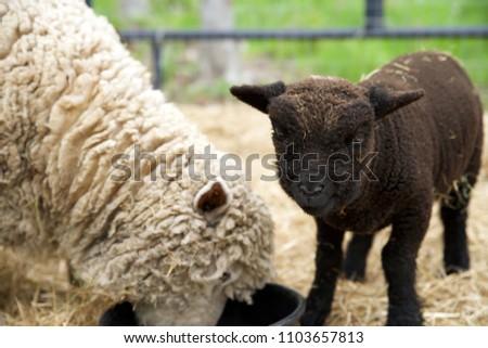 Brown Babydoll lamb waiting to eat, looking at camera.
