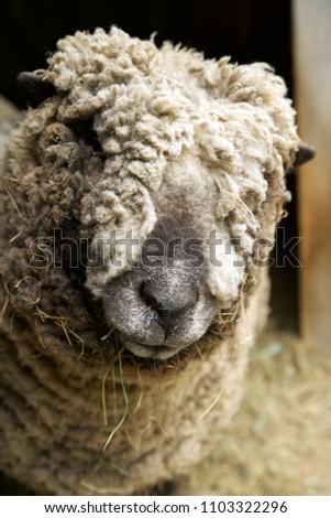 Brown babydoll sheep looking at the camera.