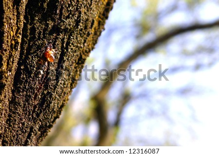 Brown bark with a drop of resin - stock photo