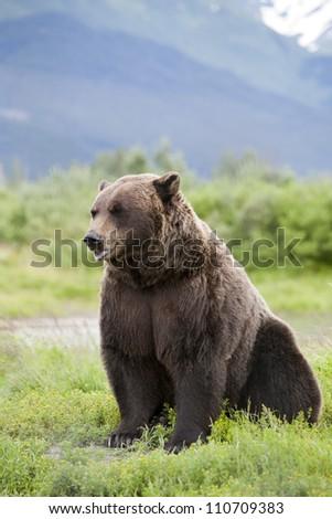 Brown Bear 2