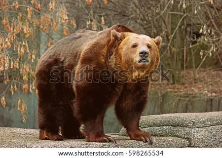 Brown bear  Zdjęcia stock ©
