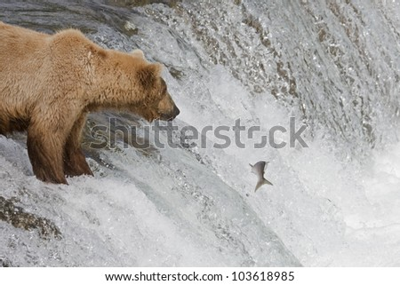 Brown Bear and her cub catching salmon in Katmai National Park, Alaska