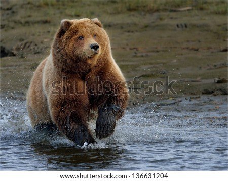 Brown bear at Lake Clark chasing salmon
