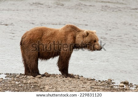 Brown Bear at the edge of a stream looking into the water for salmon