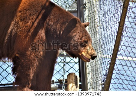 brown bear Brown bear (Ursus arctos). Encyclopædia Britannica, Inc. Brown bears are omnivorous and feed on berries, plant roots and shoots, small mammals, fish, calves of many hoofed animals. #1393971743