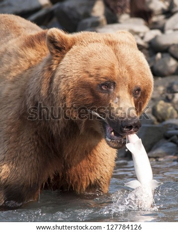 brown bear catches salmon