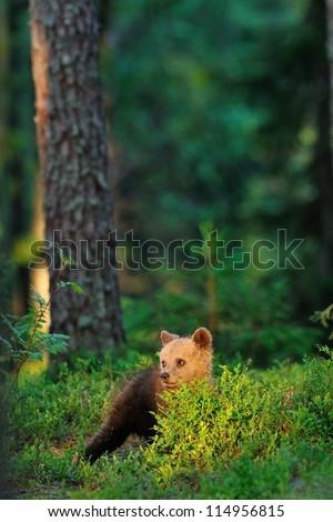 Brown bear cub at sunlight
