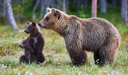 Brown bear cubs standing and her mom close
