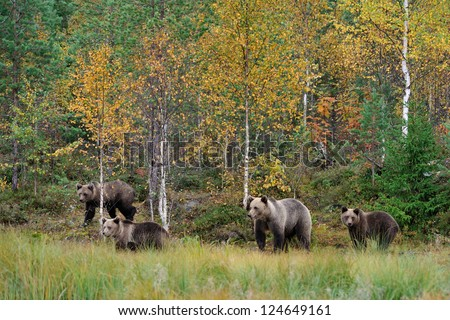 Brown bear family in autumn