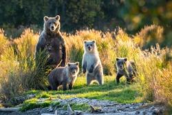 Brown bear family next to the Brooks River, fall landscape, Katmai National Park, Alaska