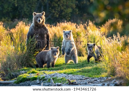 Brown bear family next to the Brooks River, fall landscape, Katmai National Park, Alaska  Stock fotó ©