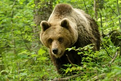 Brown bear from mountains of Croatia