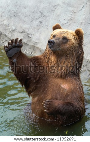Brown bear greets somebody - stock photo