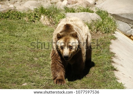 brown bear grizzly #1077597536