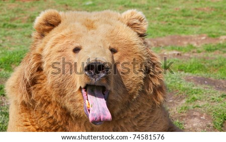 Brown bear head with mouth open and pink purple tongue stuck out