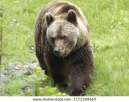 Brown bear, Hellabrunn Zoo, Munich, Bavaria, Germany