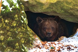 Brown bear in a den in its natural habitat