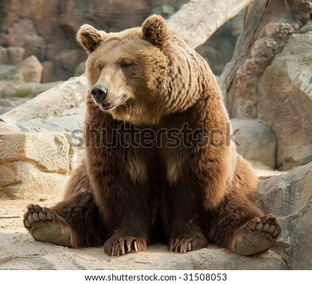 Brown bear in a funny pose #31508053