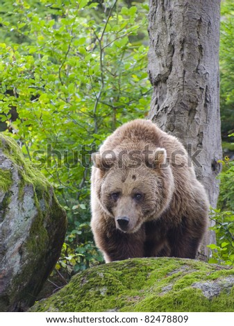 Brown bear in action...
