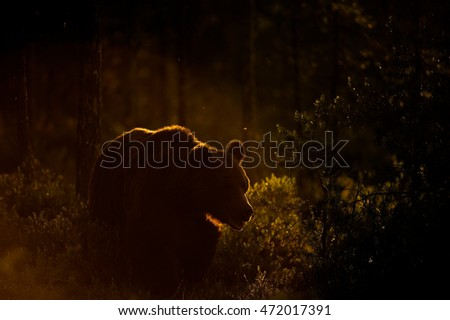 brown bear in back light  east...