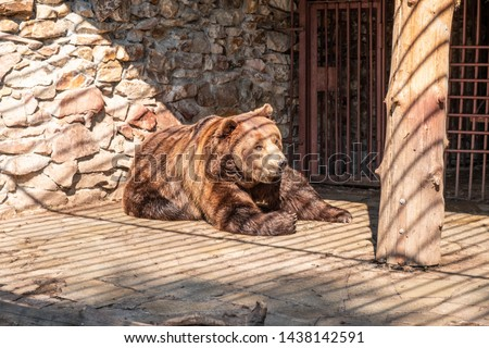 Brown bear in captivity. Brown bear #1438142591