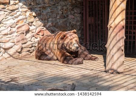 Brown bear in captivity. Brown bear #1438142594