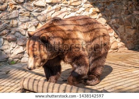 Brown bear in captivity. Brown bear #1438142597
