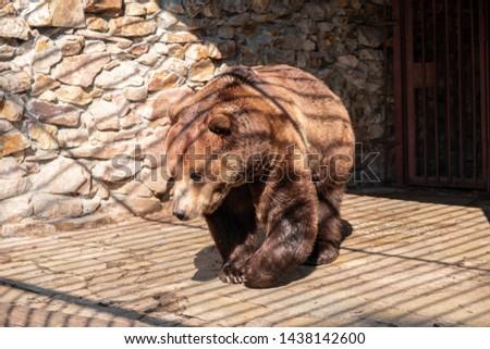 Brown bear in captivity. Brown bear #1438142600