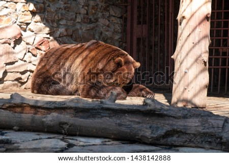 Brown bear in captivity. Brown bear #1438142888