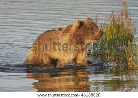 Brown bear in evening light