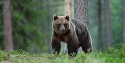 Brown bear in forest landscape