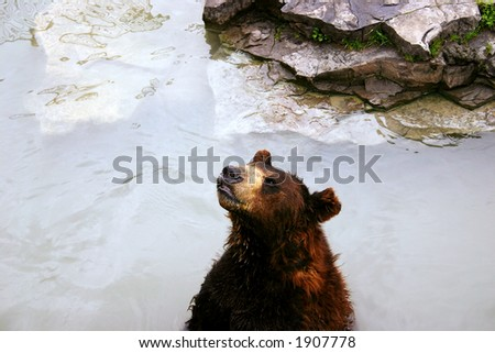 brown bear in lake