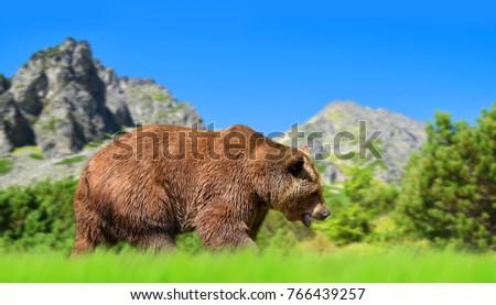 Brown bear in mountain landscape. Vysoke Tatry (High Tatras), Slovakia. Stockfoto ©