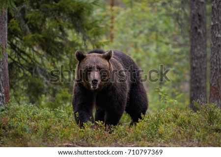 BROWN BEAR IN TAIGA FOREST #710797369