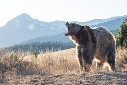 Brown bear in the mountains