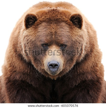 Brown bear isolated on white background