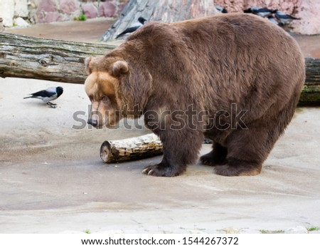Brown bear.  It is one of the largest terrestrial predators. The weight of the forest dweller reaches 350-400 kg, the body length on average is about 2 meters.