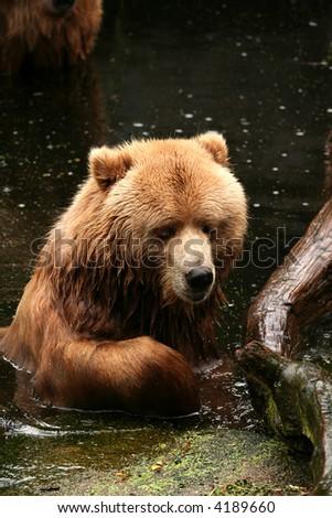 Brown bear (Kodiak bear) in the water