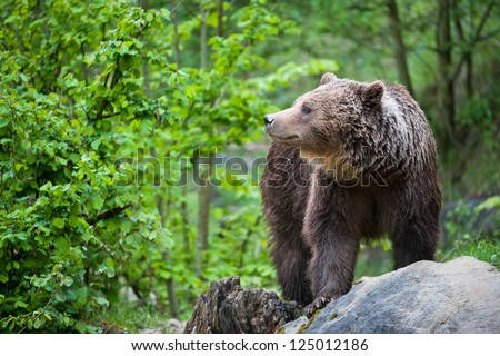 brown bear (lat. ursus arctos) stainding in the forest #125012186