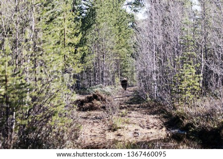 Brown bear leaves man on road in pine Scandinavian forest. Bear killed elk on forest road and hid it under bushes (pile in foreground). Danger of meetings with bear in situation of prey protection