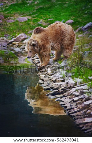 Brown bear looking at his reflection in pool