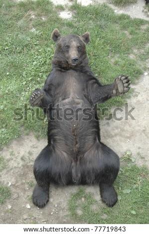 brown bear lying on his back