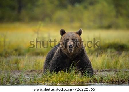 BROWN BEAR ON POND