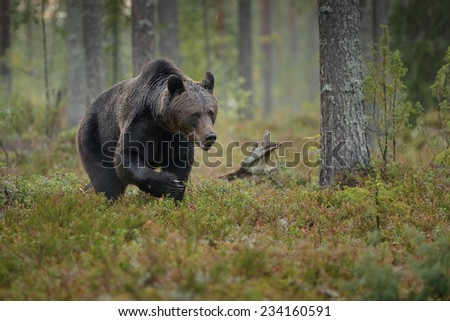 Brown bear on the prowl in the Boreal forest, Finland #234160591