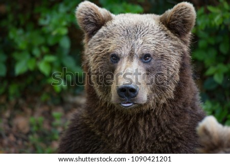Brown bear portrait #1090421201