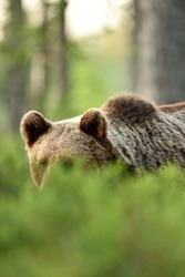 brown bear portrait behind bushes